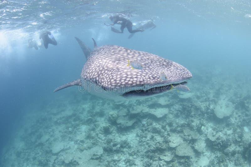 Tiburón de ballena grande que se acerca hacia usted fotografía de archivo