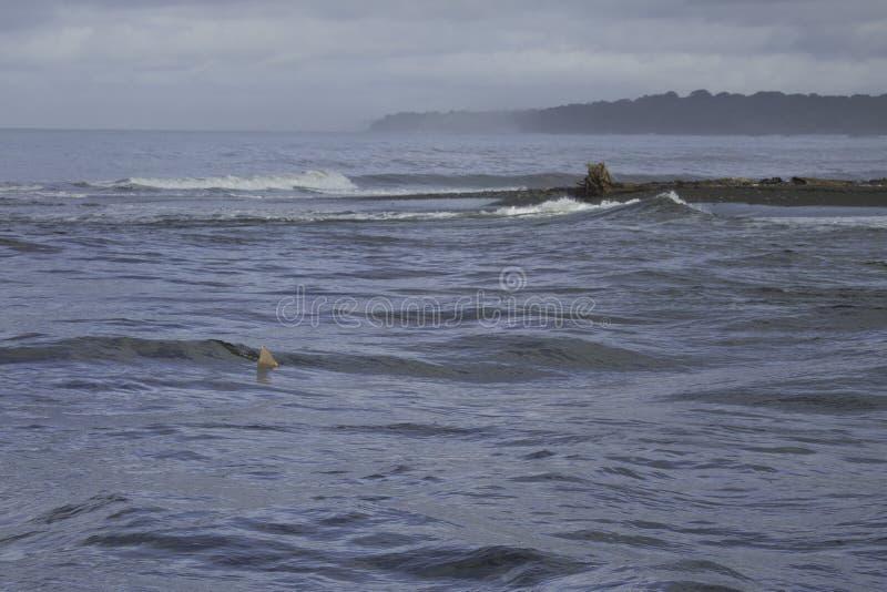 Tiburón de Bull en la boca de Sirena River, parque nacional de Corcovado, Osa Peninsula, Costa Rica foto de archivo libre de regalías