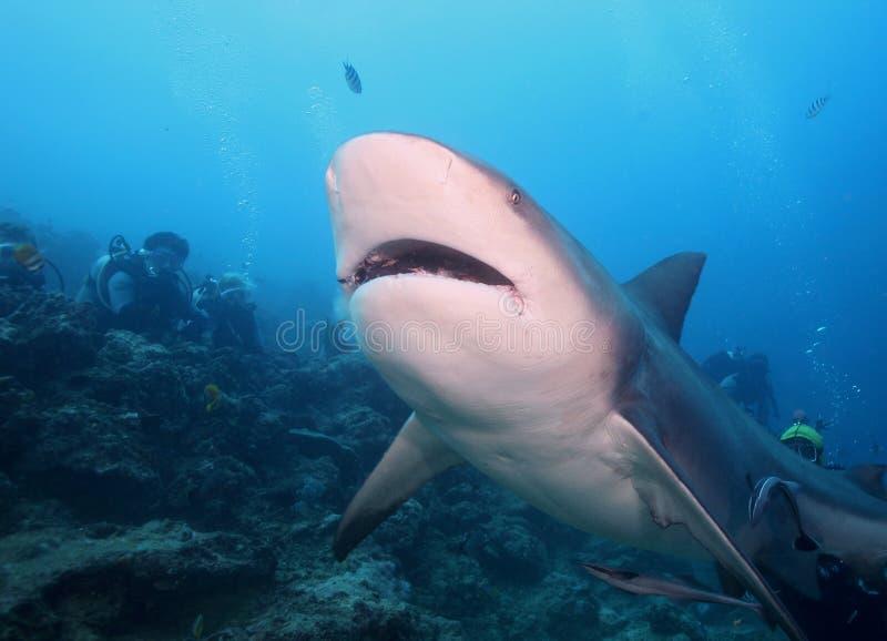 Tiburón de Bull (tiburón de Zambezi) fotos de archivo