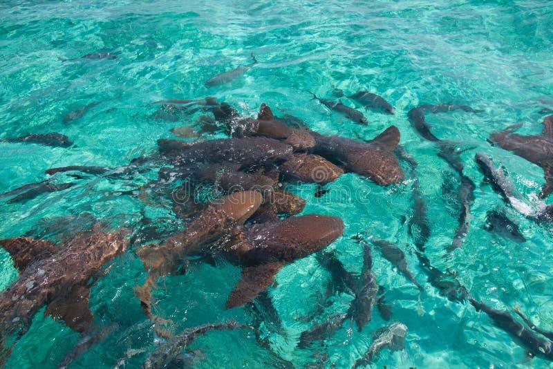 Tiburón de enfermera fotos de archivo