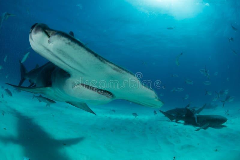 tiburón de hammerhead en Bahamas foto de archivo