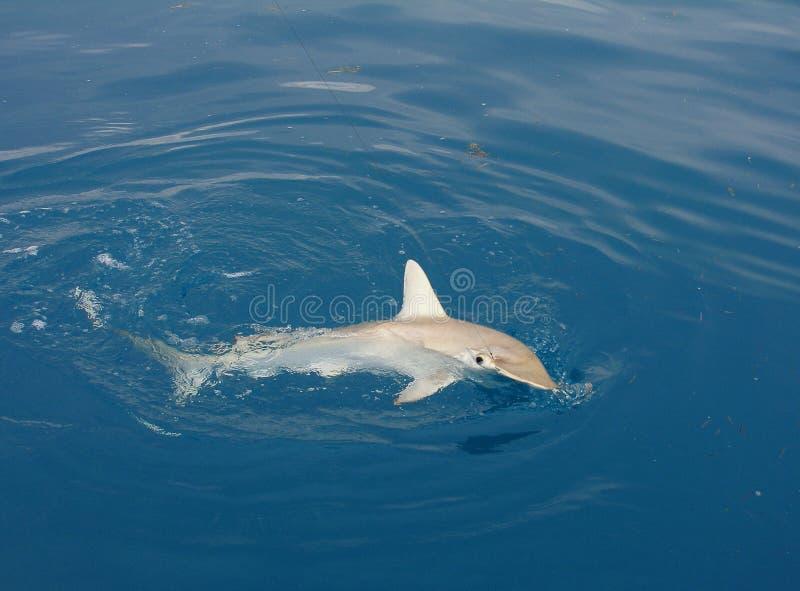 Tiburón de Hammerhead en el gancho de leva imagen de archivo