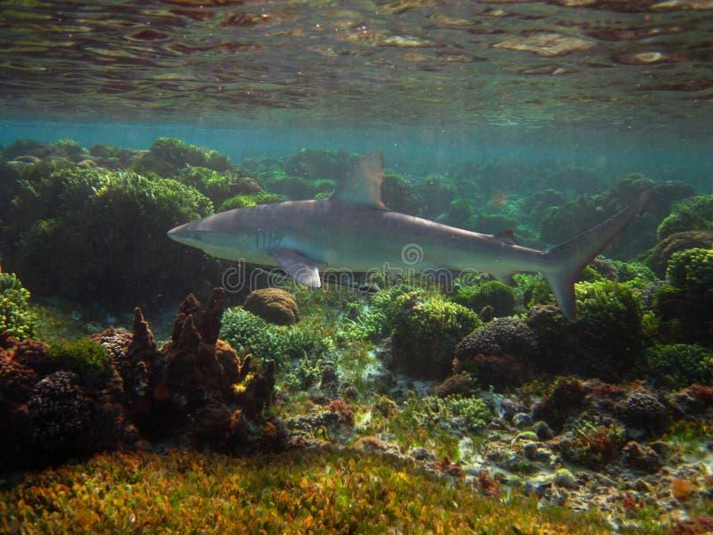 Tiburón de las Islas Galápagos fotografía de archivo