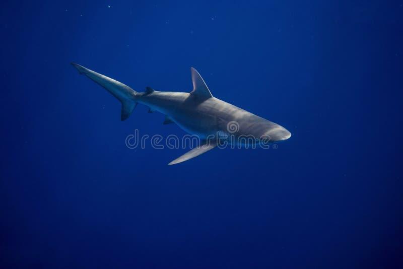 Tiburón de las Islas Galápagos foto de archivo