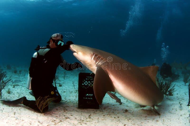 Tiburón de limón foto de archivo libre de regalías