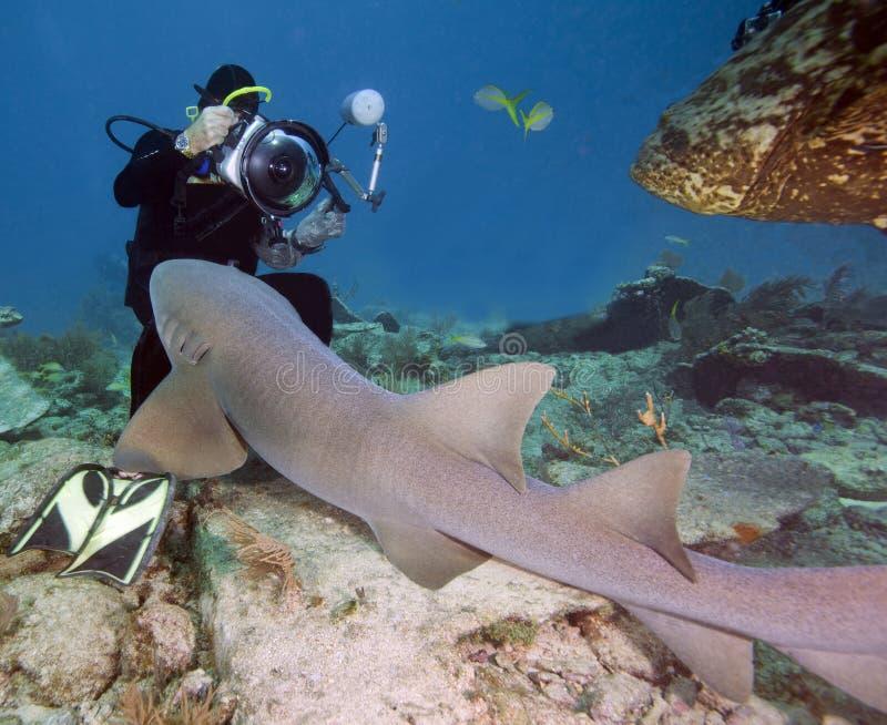 Tiburón de limón asertivo contra fotógrafo fotos de archivo libres de regalías