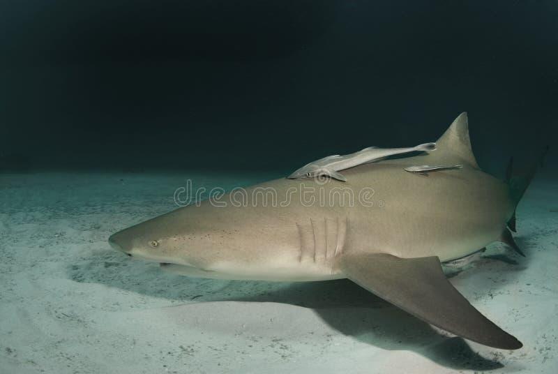 Tiburón de limón en la oscuridad foto de archivo libre de regalías