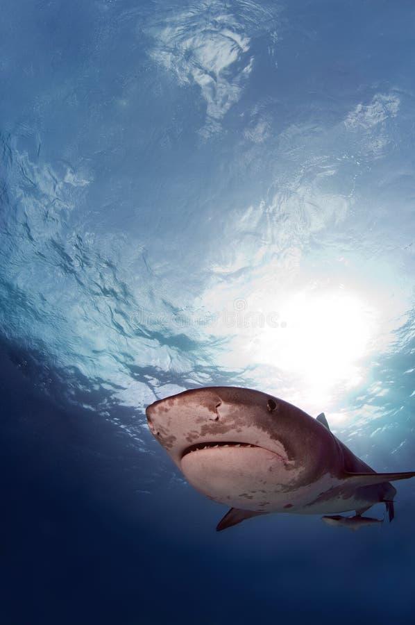 Tiburón de tigre imágenes de archivo libres de regalías