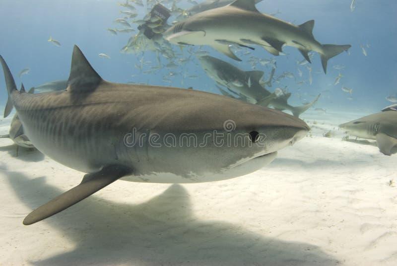 Tiburón de tigre con el frenesí 2 foto de archivo