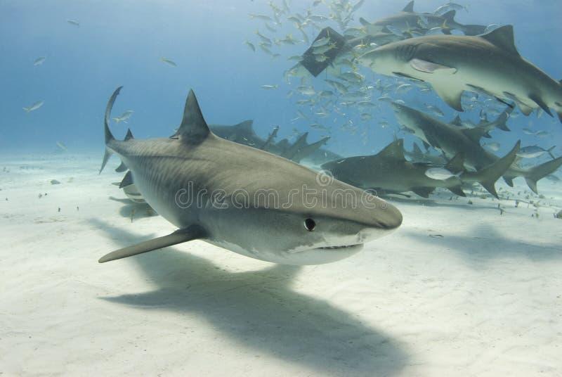 Tiburón de tigre con frenesí fotografía de archivo