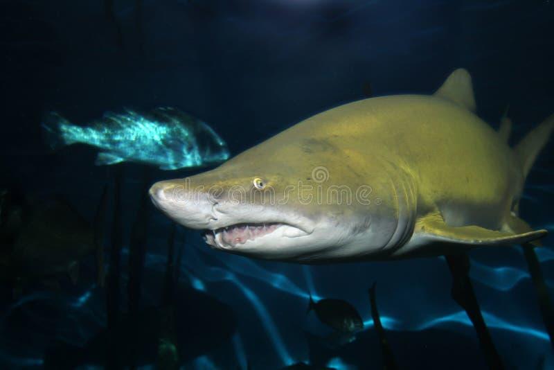 Tiburón de tigre de arena foto de archivo