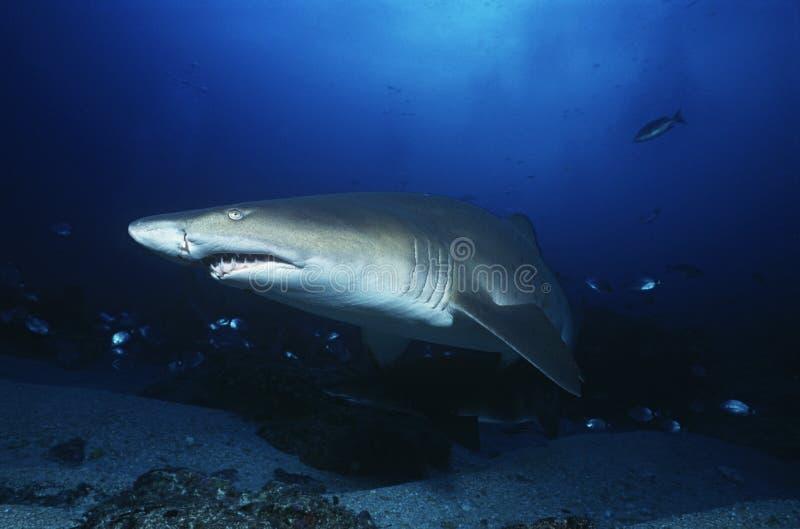 Tiburón de tigre de arena de Suráfrica del Océano Índico del bajío de Aliwal (tauro del Carcharias) fotos de archivo