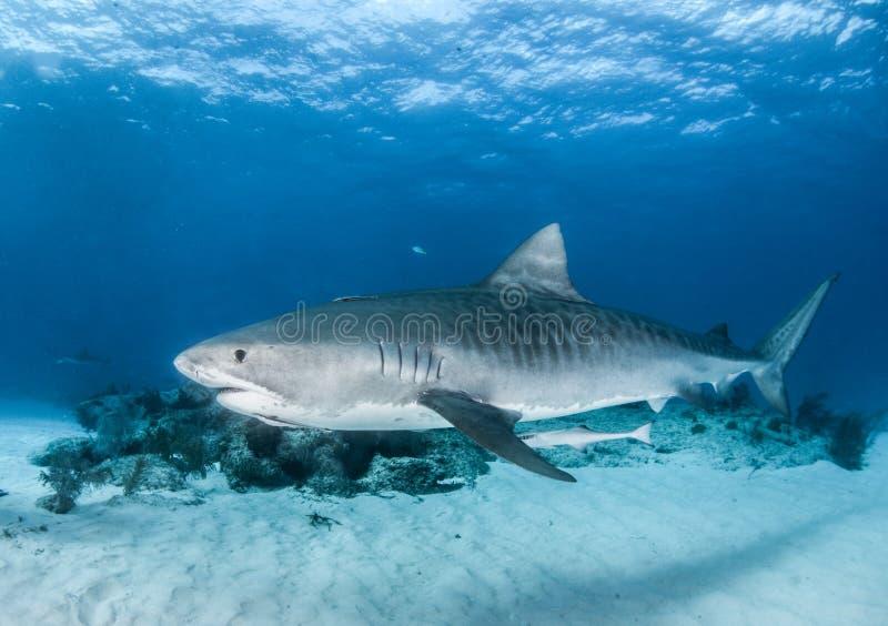 Tiburón de tigre en las Bahamas fotos de archivo libres de regalías