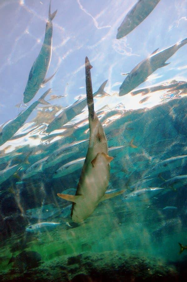 Tiburón de trilladora atado largo fotografía de archivo libre de regalías