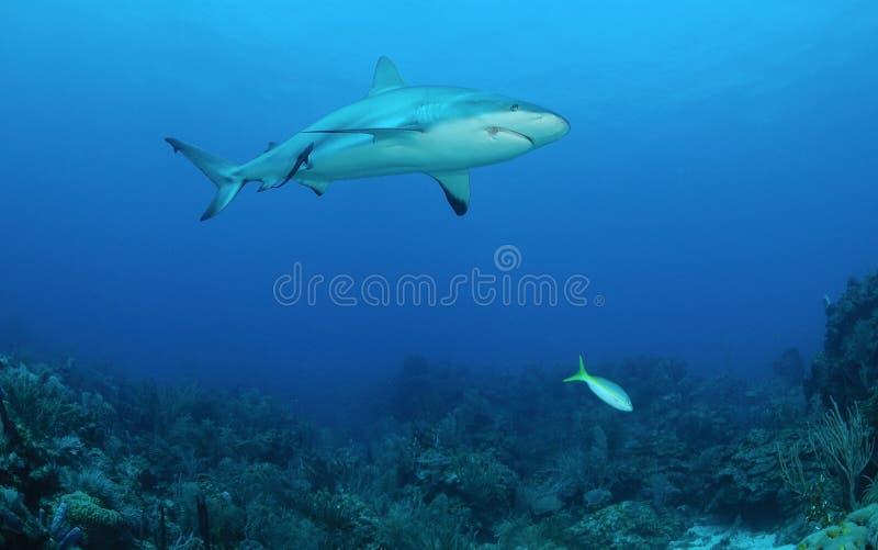Tiburón del Caribe del filón fotografía de archivo libre de regalías