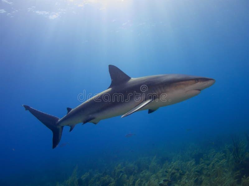 Tiburón del Caribe del filón en La Jardin de la Reina, Cuba fotos de archivo