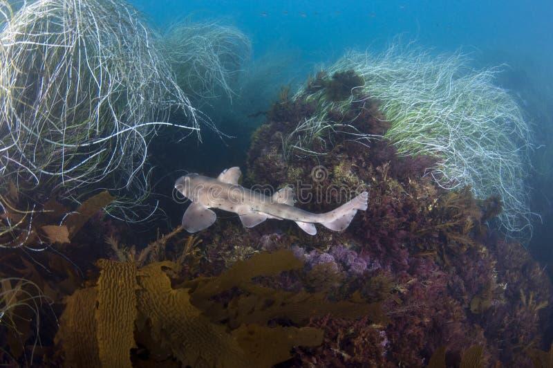 Tiburón del cuerno foto de archivo libre de regalías