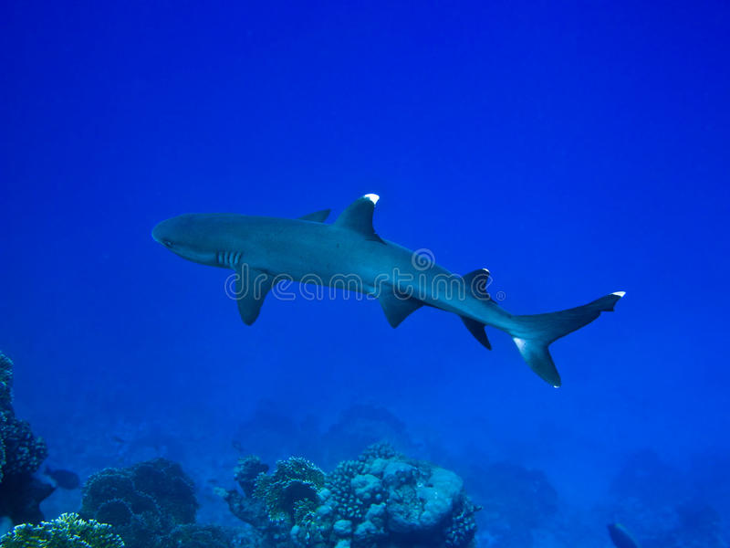 Tiburón del filón foto de archivo libre de regalías