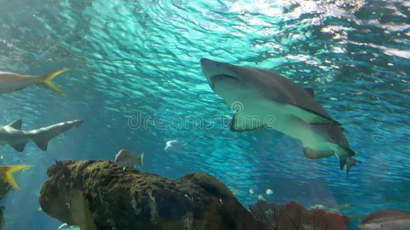 Tiburón del filón imagen de archivo libre de regalías