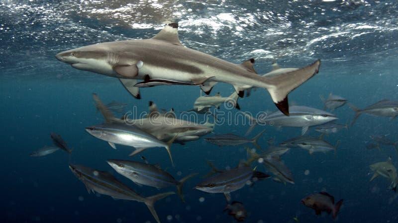 Tiburón del filón de Blacktip imágenes de archivo libres de regalías