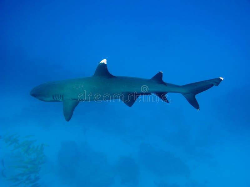 Tiburón del filón de Whitetip foto de archivo