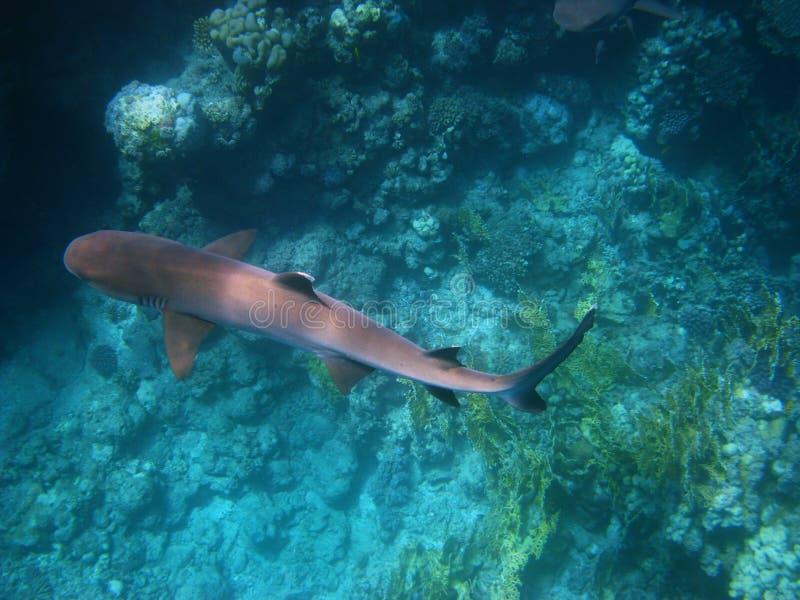 Tiburón del filón de Whitetip en el Mar Rojo imagen de archivo