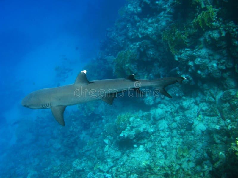 Tiburón del filón de Whitetip, Marsa Alam imagenes de archivo
