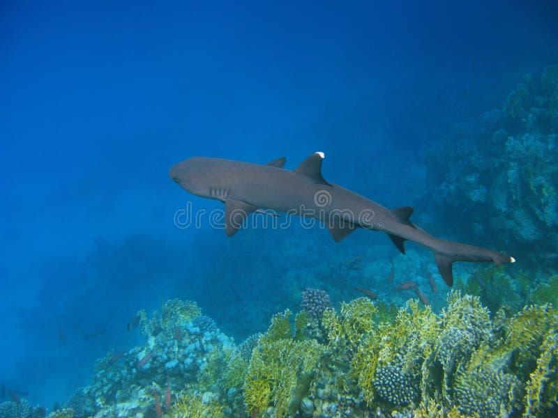 Tiburón del filón de Whitetip y filón foto de archivo