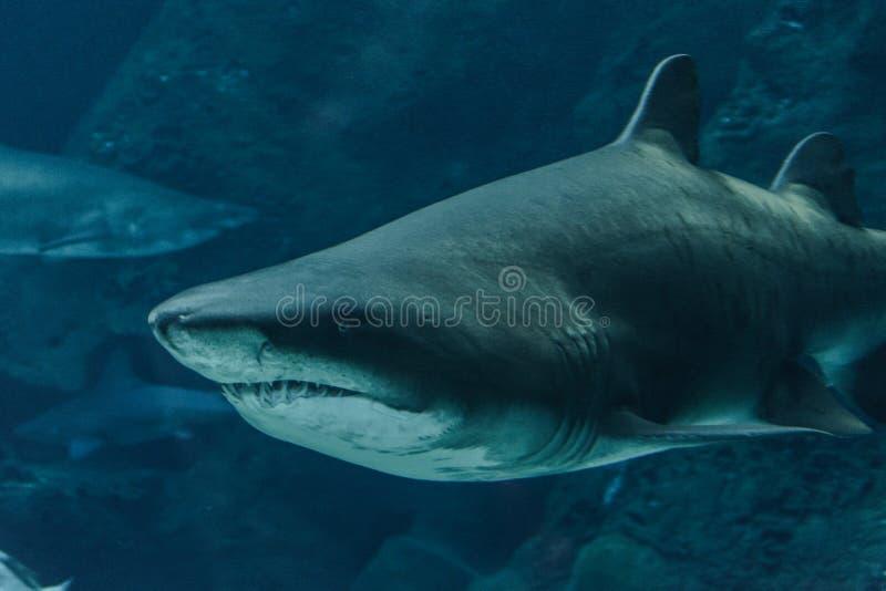 Tiburón en el agua azul fotografía de archivo