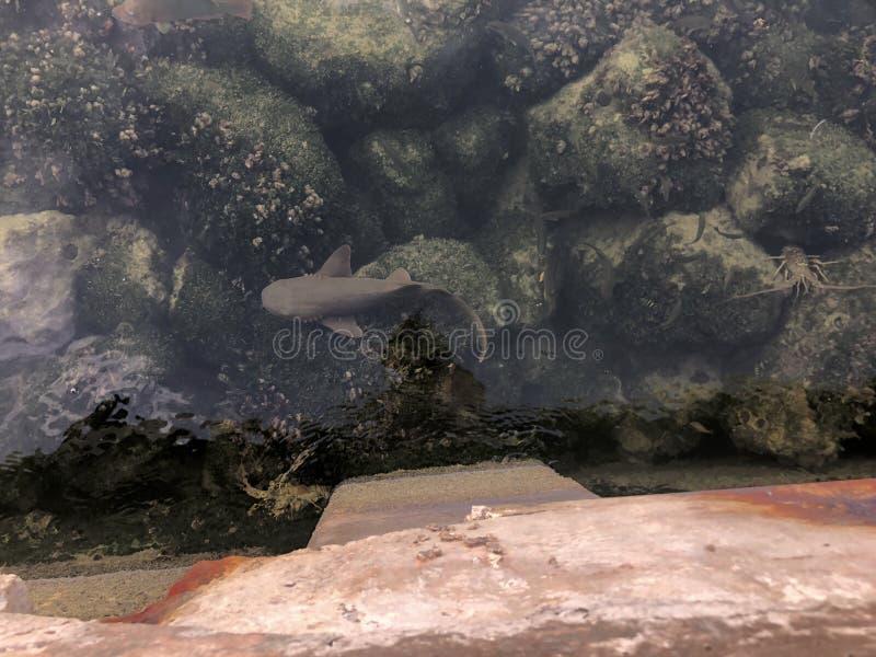 tiburón en el puerto deportivo en las llaves de la Florida imagenes de archivo