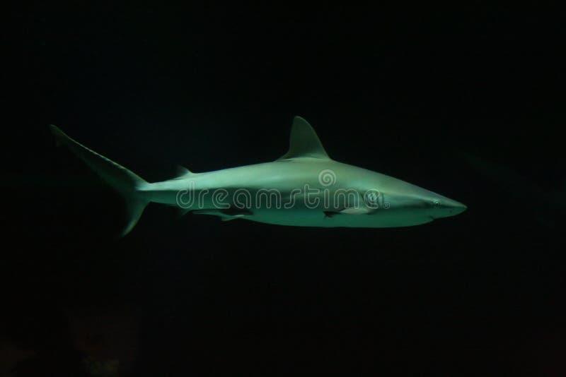 Tiburón en la obscuridad imagen de archivo libre de regalías