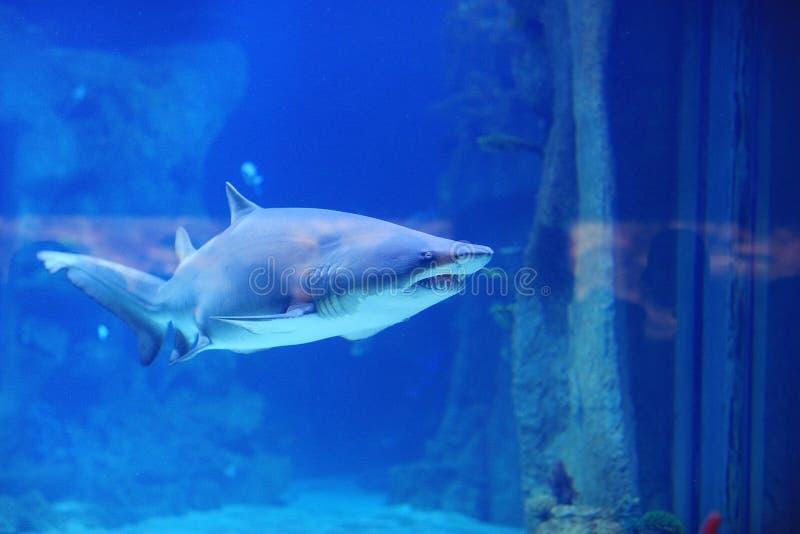 Tiburón en la piscina foto de archivo