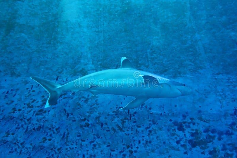 Tiburón en un acuario foto de archivo libre de regalías