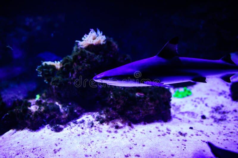 Tiburón que presenta en el agua azul profunda imágenes de archivo libres de regalías
