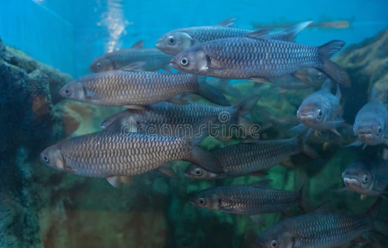tiburón Rojo-aletado del cigarro en acuario foto de archivo libre de regalías