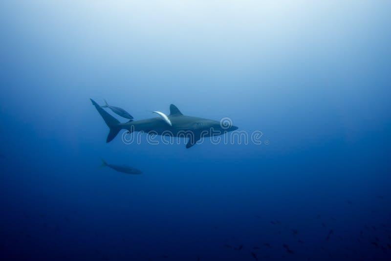 Tiburón sedoso Malpelo fotografía de archivo