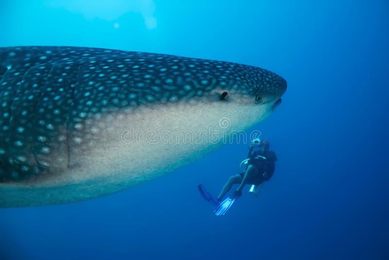 Tiburón y buceador de ballena fotografía de archivo libre de regalías