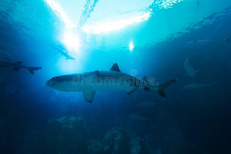Tibur?n en el oc?ano Arrecife de coral subacu?tico con la l?nea de agua Tibur?n con los rayos de sol que brillan a trav?s de supe foto de archivo