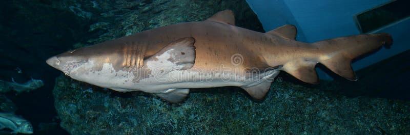 tiburones fotografía de archivo libre de regalías