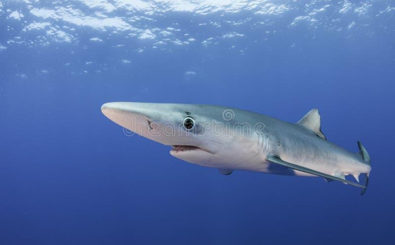 Tiburones azules fotos de archivo libres de regalías