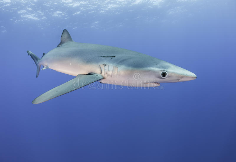 Tiburones azules fotografía de archivo