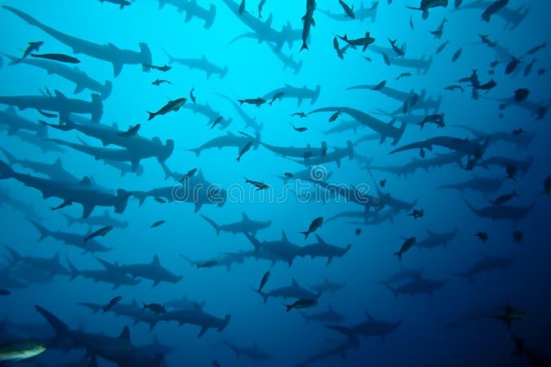 Tiburones de Hammerhead imagen de archivo
