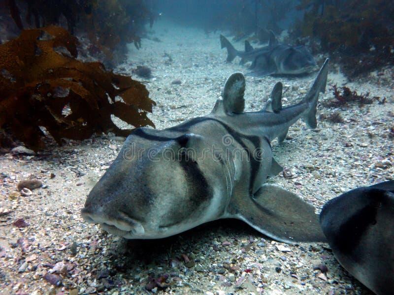 Tiburones de Jackson del puerto fotografía de archivo libre de regalías