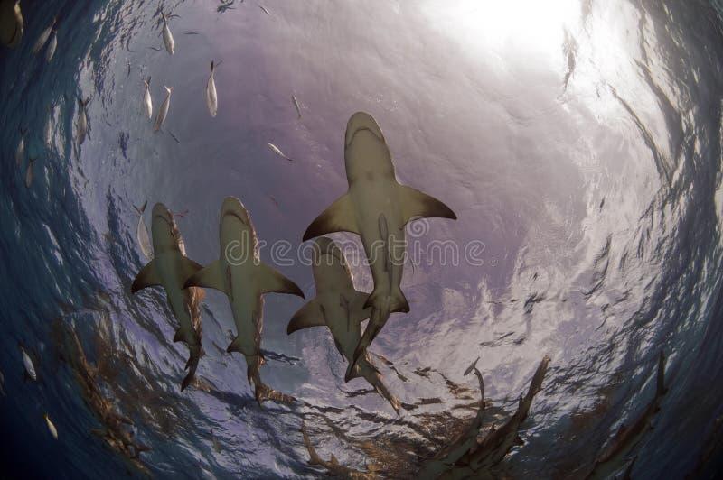Tiburones de la playa del tigre fotos de archivo