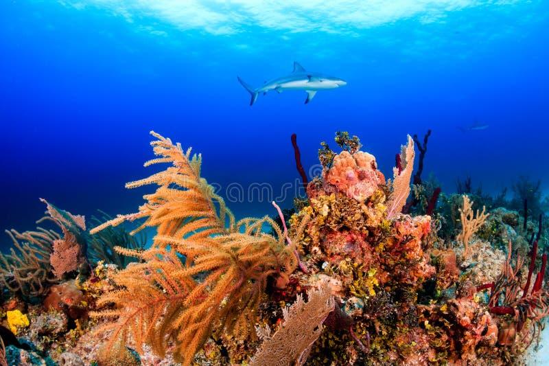 Tiburones del filón imágenes de archivo libres de regalías