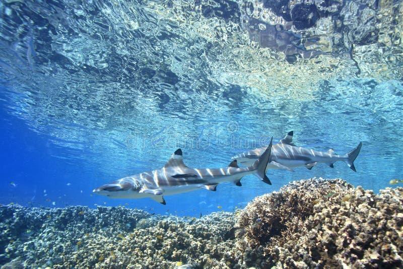 Tiburones del filón de Blacktip fotografía de archivo libre de regalías