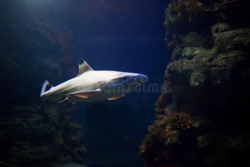 Tiburones del filón de Blacktip que nadan en aguas tropicales sobre el arrecife de coral imagen de archivo