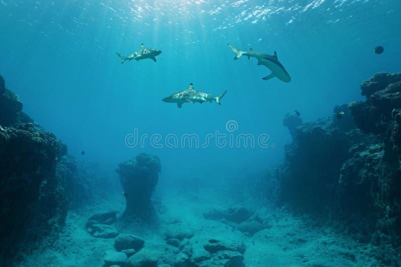Tiburones del filón de Blacktip y Océano Pacífico del suelo marino imagen de archivo