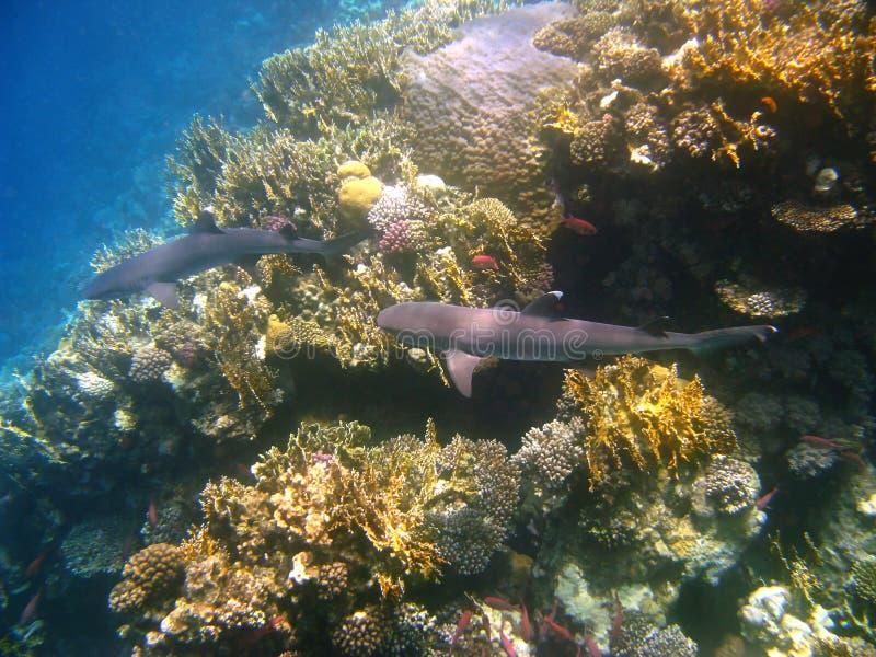 Tiburones del filón de Whitetip y filón coralino fotografía de archivo