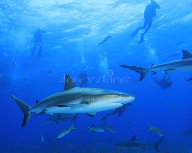 Tiburones del filón y zambullidores de equipo de submarinismo del Caribe foto de archivo libre de regalías